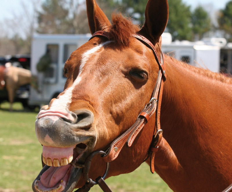 Gaul Pferd